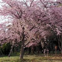 万葉公園の河津桜 その3