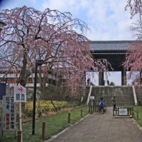 東郷寺 風格ある山門をバックに見事な枝垂れ桜