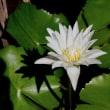 名古屋市中区大須の久屋大通庭園フラリエで「熱帯のスイレンフェスタ」が開催されています。