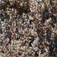 3月22日(水)  桜が咲いてる