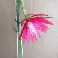 クジャクサボテンの花が咲いたー(^o^)