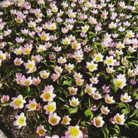 花公園のチューリップ☆