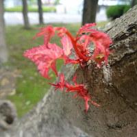 ブラシノキの花と大木の新芽