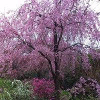 …京都・原谷苑…