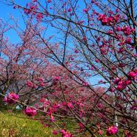 『町なかの花』 緋寒桜