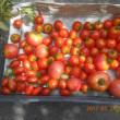 今日の収穫 トマト キャベツ キュウリ ナス オクラ シシトウ インゲン ニンジン ネギ シソ