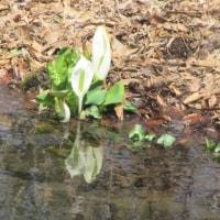 箱根湿生花園 水芭蕉、見頃に
