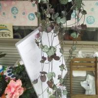 6月の鶴見西口での販売は、明日日曜日と水曜日金曜日の予定です!雨が降りませんように!