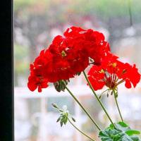 冬・・・窓際の花・・・ゼラニウム