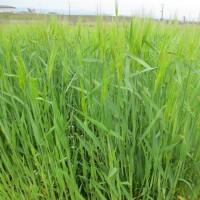 本日の大麦