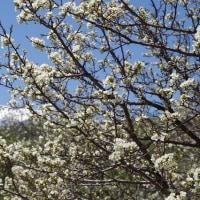 乗鞍高原の春