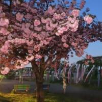 鯉のぼり・八重桜