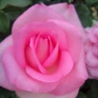 薔薇のある公園でお茶
