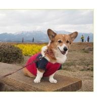 早春の琵琶湖の風物詩 なぎさ公園の菜の花とジャネット