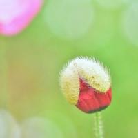 「素敵な雨上がり」 いわき 高野花見山にて撮影! ポピーの蕾