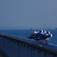 びわ湖大津のカモメ