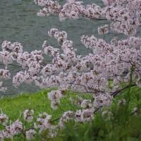 千鳥ヶ淵の桜サクラ~♪