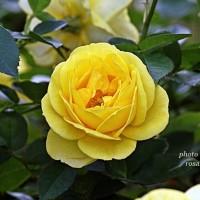 カルトドール  黄色いロゼット咲きのバラ