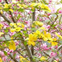 遅咲きの桜めぐり・・・ 御苑、植物園、原谷苑