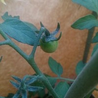 さつまいも 夏枝豆。。。