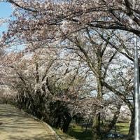 桜の下で     麗