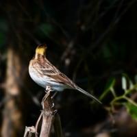 粟島・秋の探鳥行(2016) ミヤマホオジロ 雌