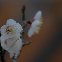 名古屋城の梅(白梅Ⅰ)