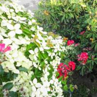 今年も見事・・ヤマボウシの花が満開に・・・・