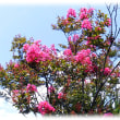 暑い真夏の花(^^♪「サルスベリ(百日紅)」は長い間紅色の花が咲いていることから、百日紅