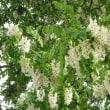 樹木ウォッチング冬から夏へ233ニセアカシア2