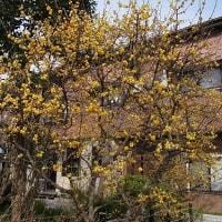 蝋梅も咲きました