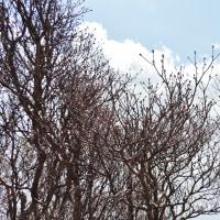 大崩山のアケボノツツジ ~ 2017年4月22日の状況