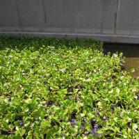 2016年小笠原村硫黄島慰霊墓参(184)天山慰霊碑の入口の池