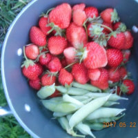 今日の収穫 イチゴ グリーンピース ニンジン