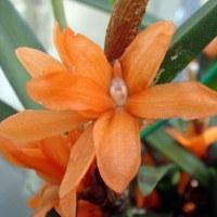 Ceratostylis. rubra