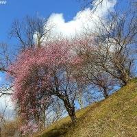 早春の安曇野  花 咲き始め