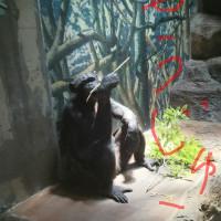 チンパンジーは猛獣。