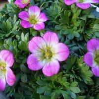 季節の花「雲間草(くもまぐさ)」