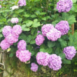 梅雨のお花 紫陽花。