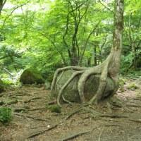 岩をもつかむ木