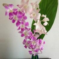今日のお花 デンファレ Today's flower, denphal