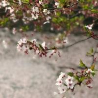 梶ノ宮神社野池の桜並木も花筏模様