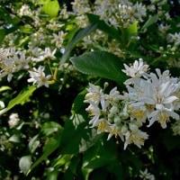 卯の花の匂う垣根に・・・夏は来ぬ