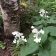 パンセの庭で咲く  ノリウツギ