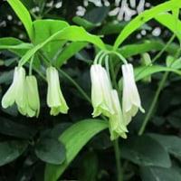 宝鐸草(ほうちゃくそう)という花