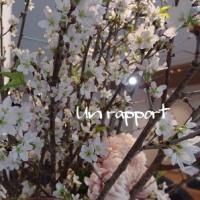 一足早い春をつげる啓翁桜が満開です^^