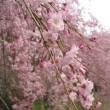 満開の桜、再び 120405