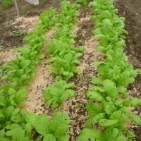 豆類の畝の耕運 と 今年最後の種まき