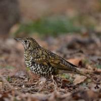 今日の野鳥・・・トラツグミ 【その2】・・・撮りすぎた!。。