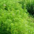挑戦田舎暮らし 長年の休耕田をコスモス畑へ(その18) ついに花が咲き始めました!